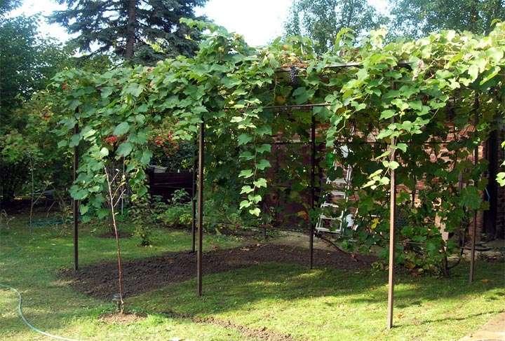 Пергола – идеальное место для выращивания винограда
