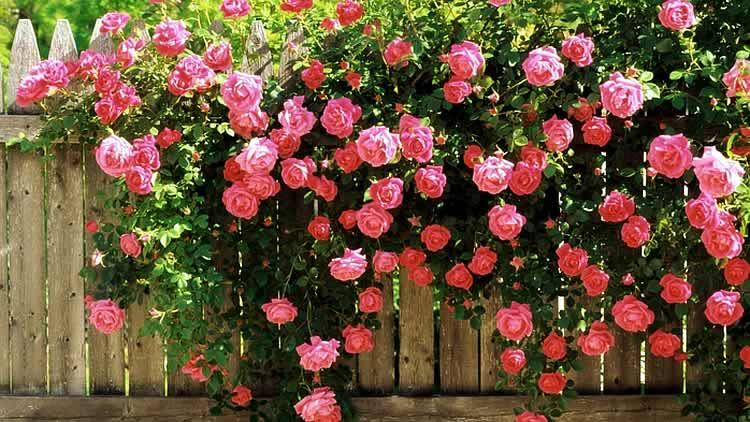 Изгородь в розах