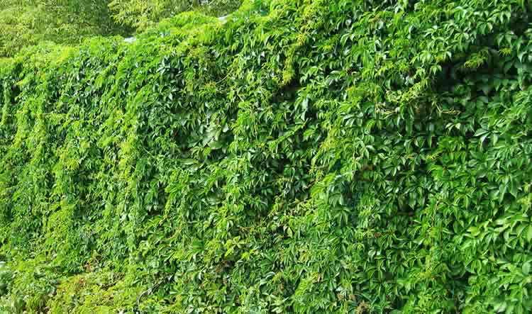 Озеленение плющом