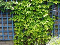 Быстрорастущие вьющиеся растения для изгородей и заборов